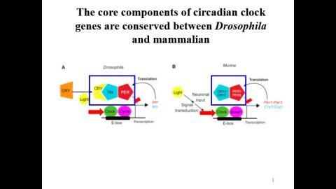 circadian clock-recorded II.mp4