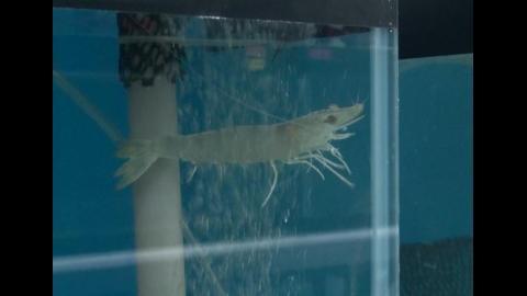 【影音】為台灣蝦類養殖開啟新局 成大成功培育出抗白點病毒草蝦