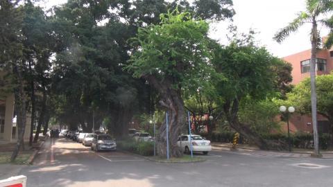 成大護樹  校園樹木總體檢以維生態永續